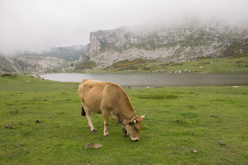 Vaca junto al lago