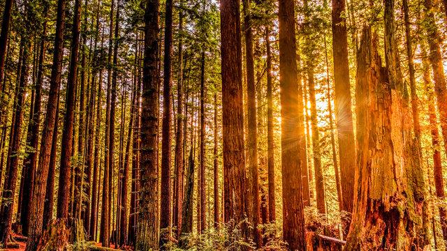Redwood Sun