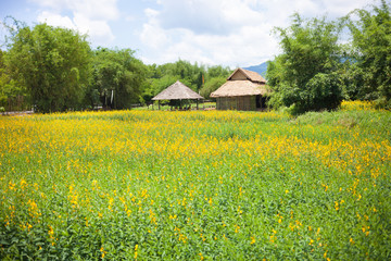 Beautiful yellow Sunnhemp flowers