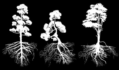 isolated three white pines with roots