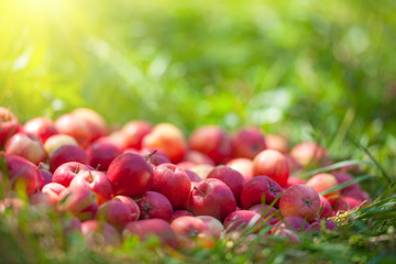 Red apples on the grass in sunny day