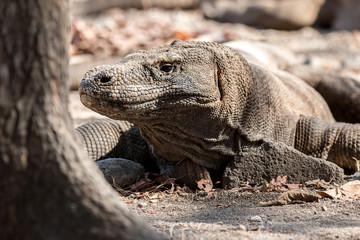 Komodo Riesenechse
