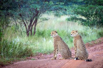 A couple of male cheetahs sitting on dirt road in Africa savanna