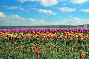 Beautiful flowers tulips against the sky with clouds (relaxation