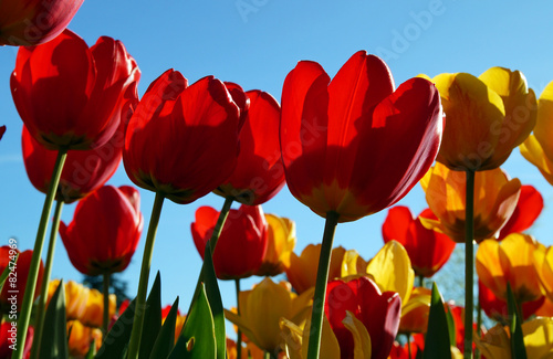bunte tulpen farben f r die seele stock photo and royalty free images on pic. Black Bedroom Furniture Sets. Home Design Ideas