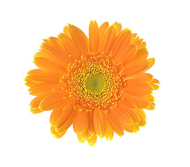 Yellow flower of gerber isolated on white background
