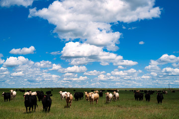 Cows Come When Called Beautiful Day Ranch Livestock