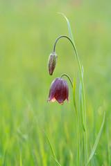 Fritillaria meleagroides