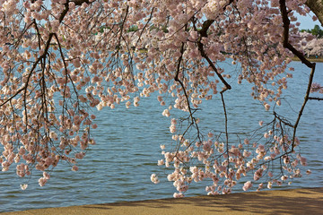 Delicate cherry blossoming branches near Tidal Basin