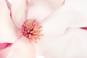 Magnolia, pink spring flower macro