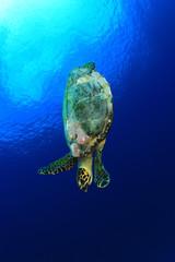 Hawksbill Sea Turtle in blue sea