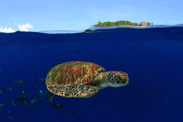 Green Sea Turtle swims in clear blue sea of Similan Islands