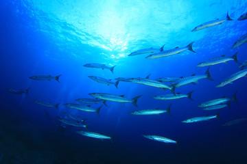 School Barracuda fish underwater in ocean