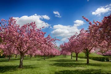 Rosa blühende Kirschbäume im Frühling