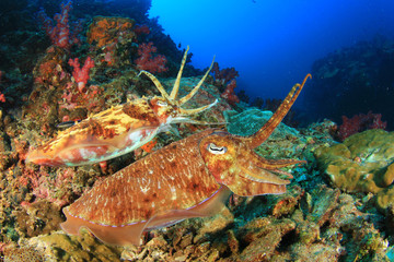 Pair of Cuttlefish on coral reef