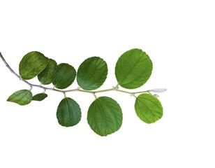 Green Jujube leaf isolated