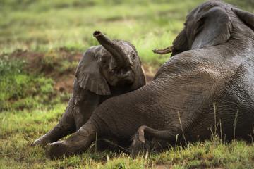 Young elephant playing, Serengeti, Tanzania, Africa