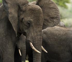Close-up of an elephant, Serengeti, Tanzania, Africa