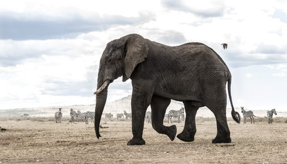 Elephant walking, Serengeti, Tanzania, Africa