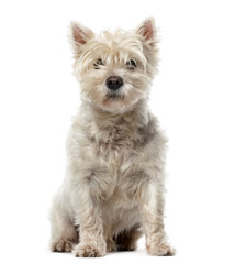 West Highland White Terrier (12 years old) in front of a white b