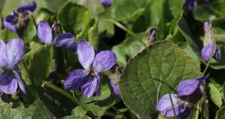 background of spring flowers violets