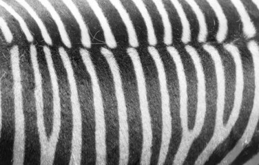 Detail of a black and white stripes on a zebra skin