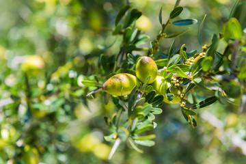 Fresh fruit of Argan tree on the branch