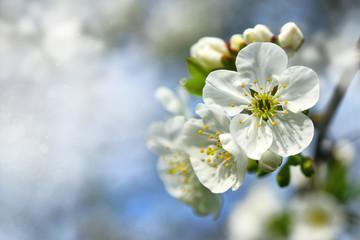 Obraz kwiat wiśni - fototapety do salonu