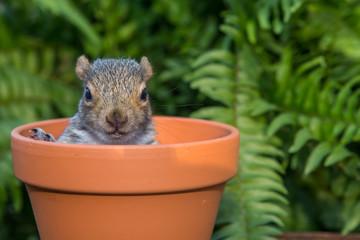 Baby Squirrel hiding in a flower pot.