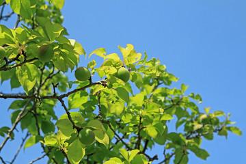 青空に青梅の枝