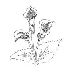flowers, lily, painting, sketch, vector, illustration
