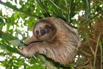 Three-toed sloth in the jungle wild animal