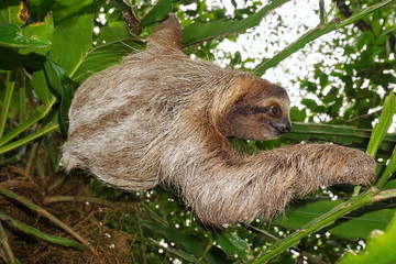 Wild brown-throated three-toed sloth in the jungle