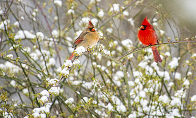 Male and female Cardinals perch in a snowy rose bush.