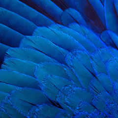 Background image of the bird's blue feathers