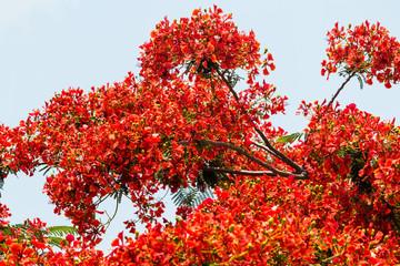 Fototapete - Flammenbaum in Blüte