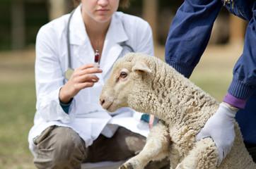 Fond de hotte en verre imprimé Sheep Lamb vaccination