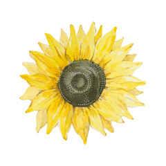 Sunflower isolated on a white background.
