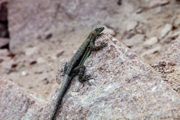 Small iguana, the west coast of Peru