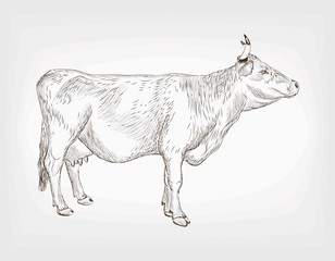 vector sketch of cow