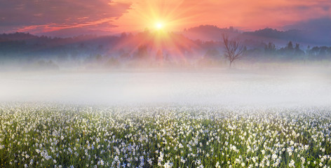 Wall Mural - Narcissus at dawn