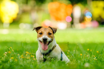 Summer bright portrait of smiling Jack Russell Terrier dog