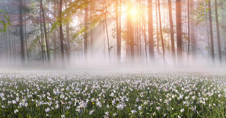 Wall Mural - Daffodils at sunrise
