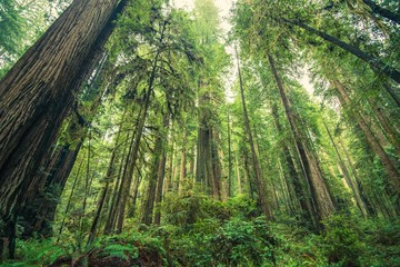 Wall Mural - Giant Redwoods Forest