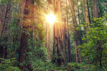 Wall Mural - Sunny Redwood Forest