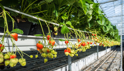 Hydroponic strawberry cultivation at an ergonomic working height