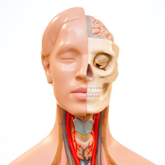 Medical rubber dummy, face anatomy