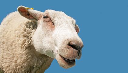 Close up of Sheep head