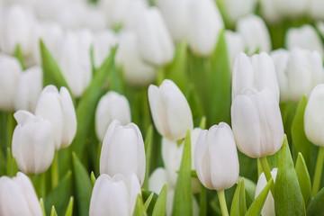 Fresh white tulip