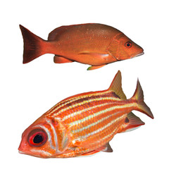 Red Snapper fish and Squirrelfish isolated white background